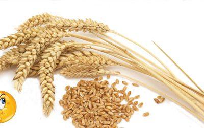 Il Kamut è un cereale antico?